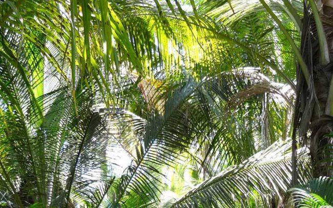 Palmen in Indien